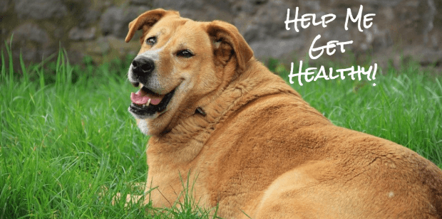 Doggy Lifestyle Changes – Weight Management and Dog Nutrition 101